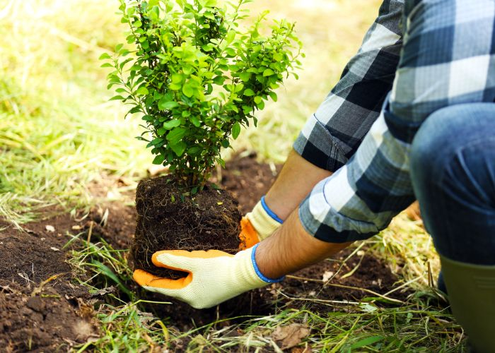 landscape architect planting tree in Denver